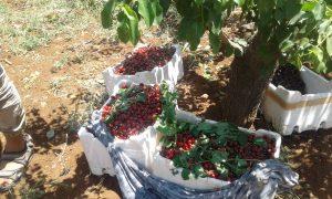 محاصيل الكرز تعود إلى أسواق إدلب