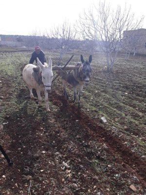 الفدان يجره حماران يوجههما الفلاح تصوير نايف البيوش
